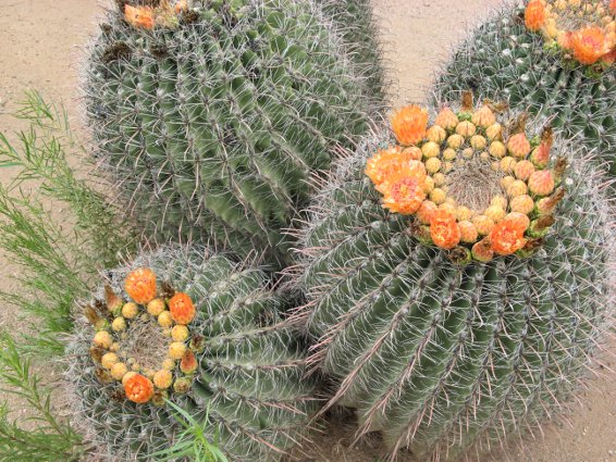 Barrel cacti in bloom at Besh Ba Gowah's ethnobotantical garden