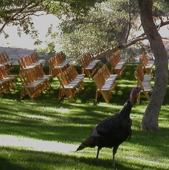 Van Dickson Ranch's regular visitor (Tom the Turkey) inspects the wedding seating arrangement (photo courtesy of Carolyn Harris)